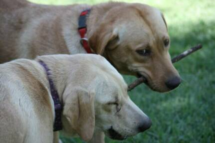 Friends for Life - Lab Puppies for Sale in California