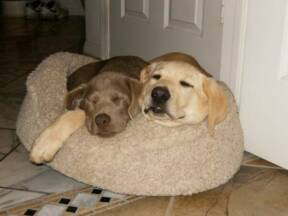 Sleeping Lab Puppies for Sale in California
