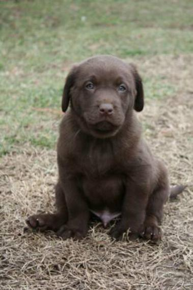 Lab Puppies for Sale California | Charcoal Labs | Silver