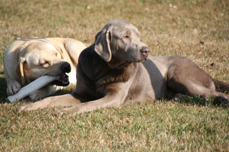 Silver Labradors | Lab Puppies for Sale California